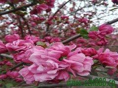 海棠苗木基地