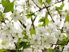 <b>樱花</b>